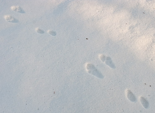 Mountain Hare Trail - Ice Raven - Sub Zero Adventure - Copyright Gary Waidson, All rights reserved.